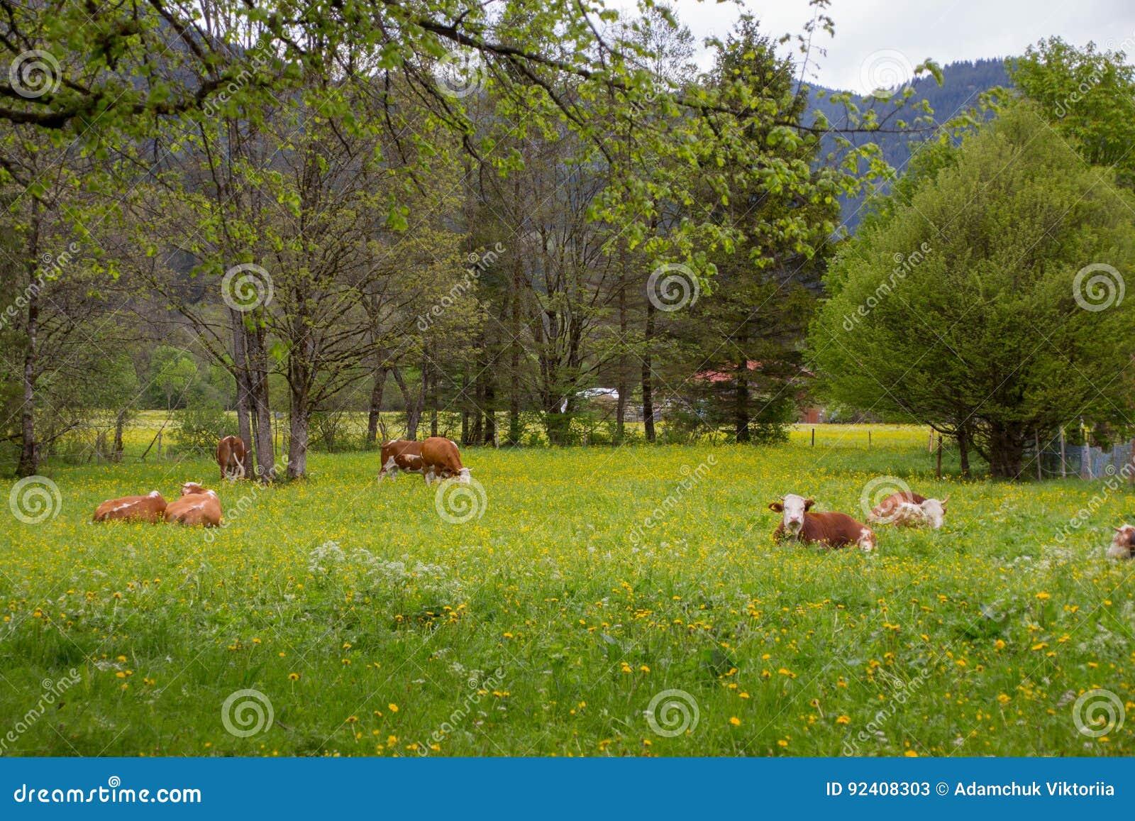Brown e mucche da latte bianche