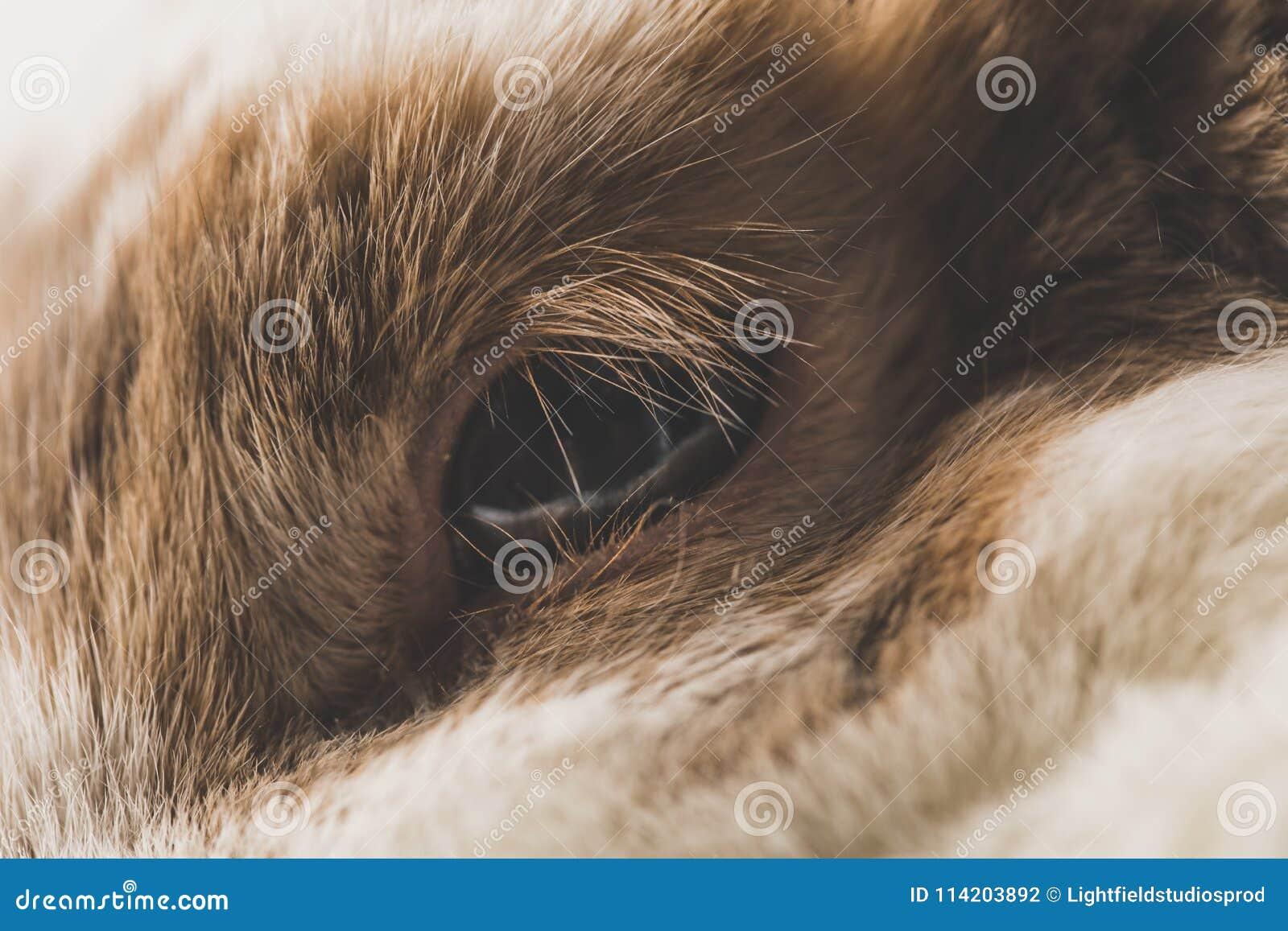 Brown e olho branco do coelho