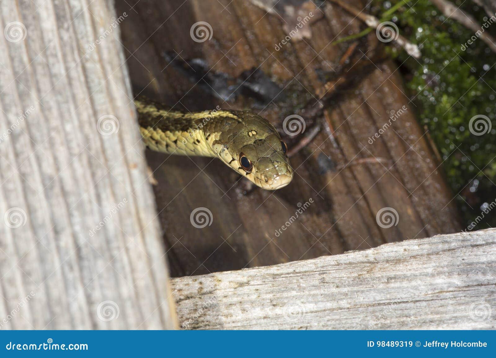 Brown e serpente di giarrettiera giallo in una palude di New Hampshire