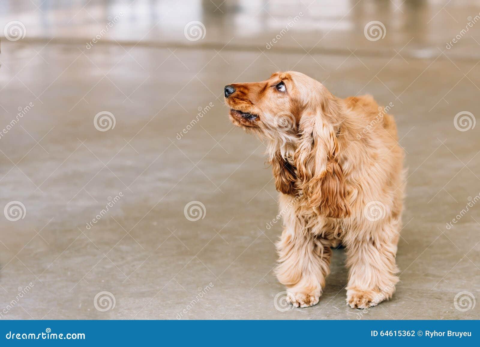 Brown English Cocker Spaniel Dog Indoor Stock Photo ...