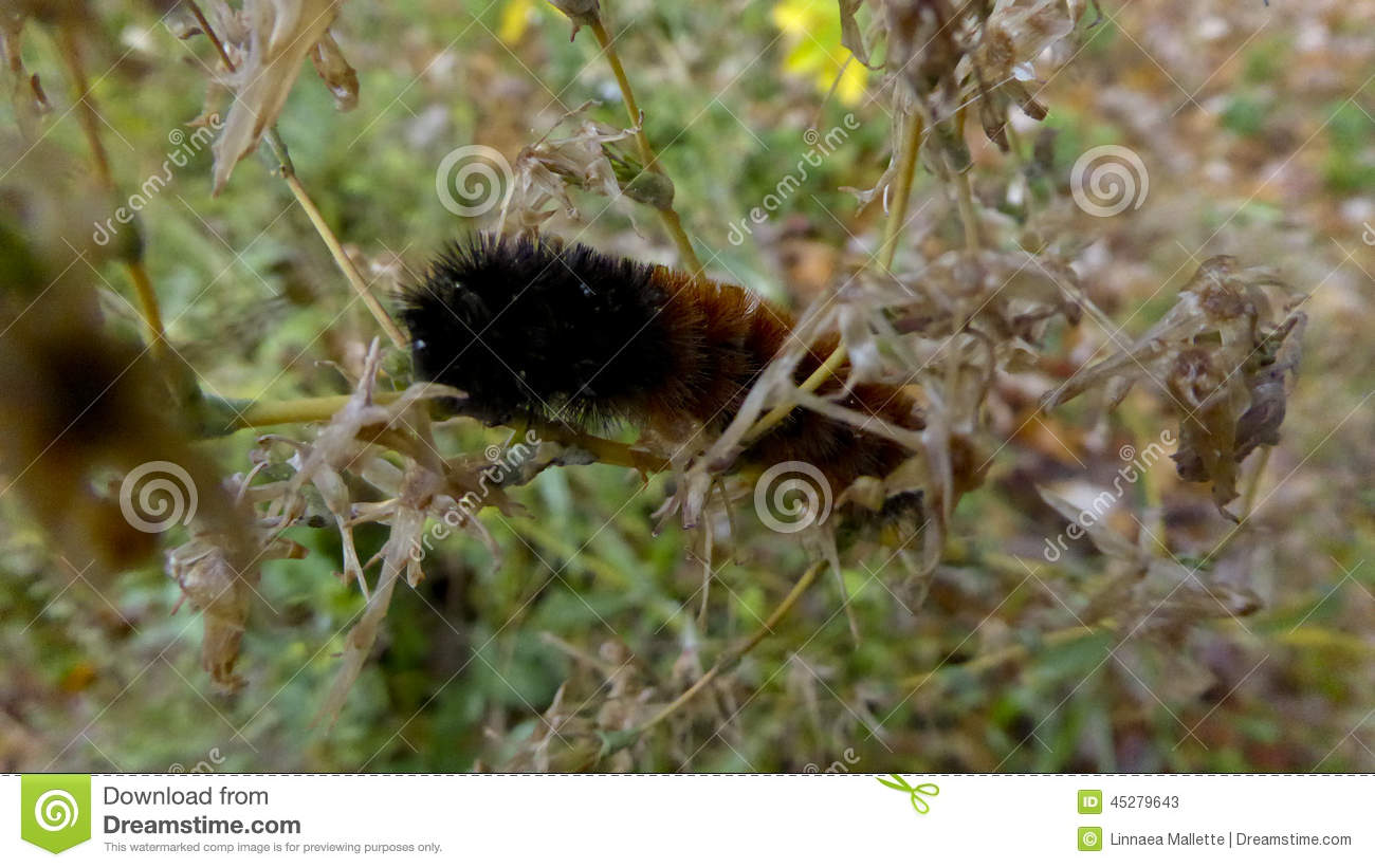Brown et chenille velue orange de b image stock image du insecte r uni 45279643 - Chenille orange et noir ...