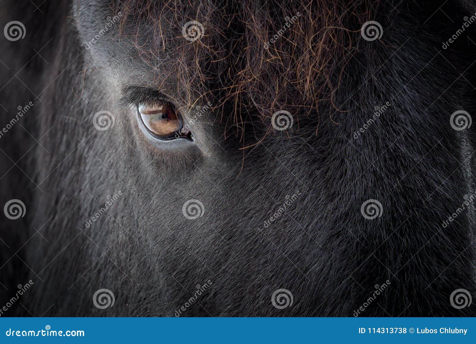 Eye of a friesian horse