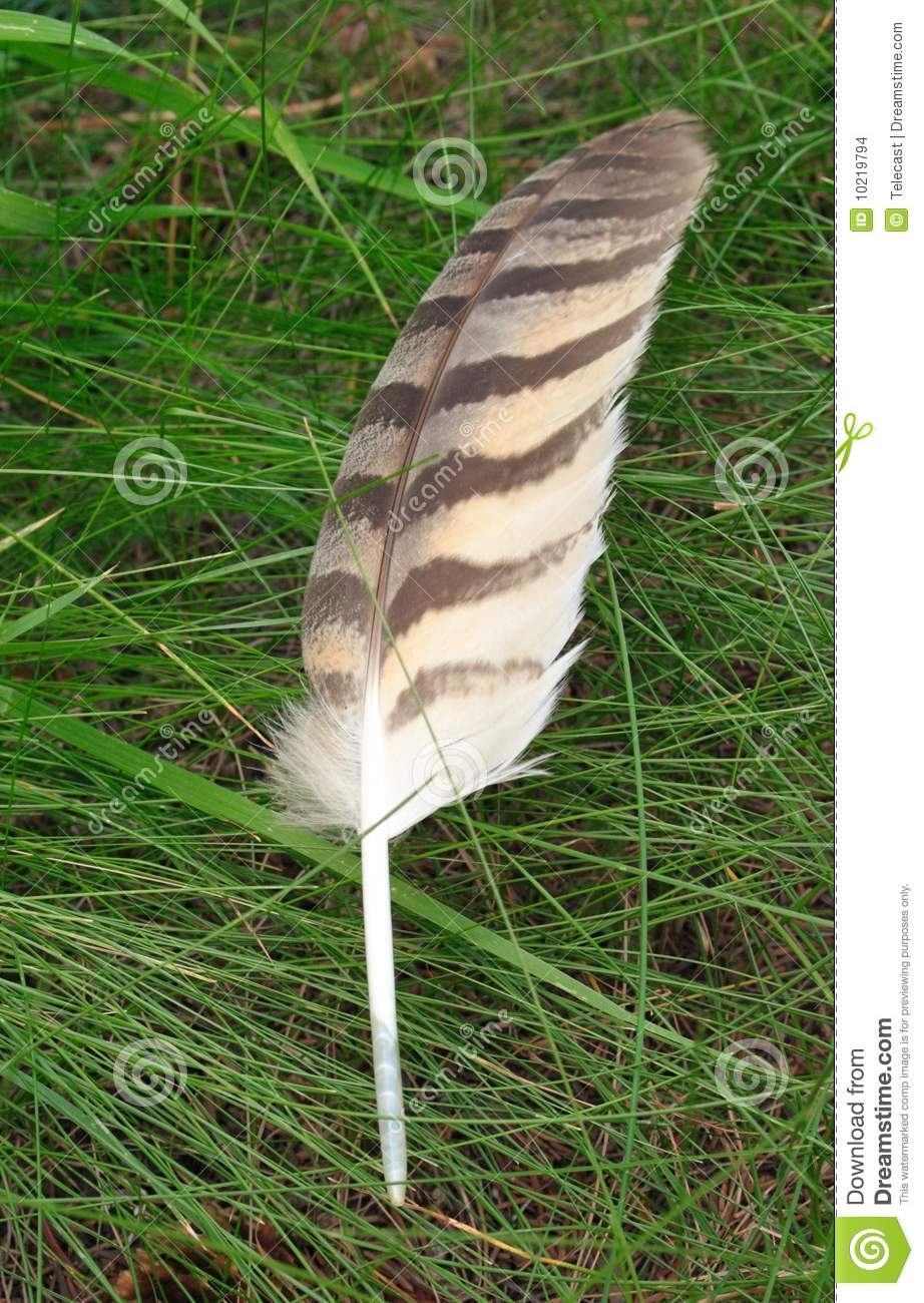brown feather stock photo image  lying horned hawk