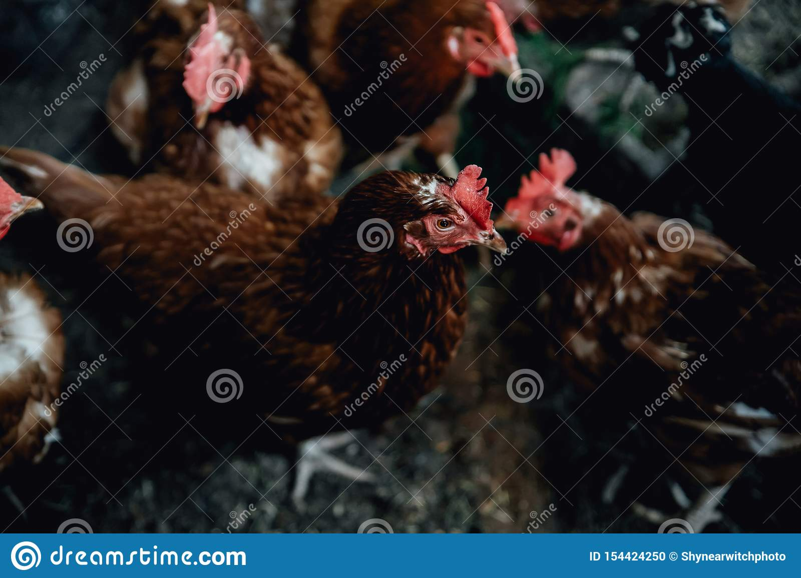 Brown female eggs hen standing show beautiful plumage feather white background use for livestock and farm