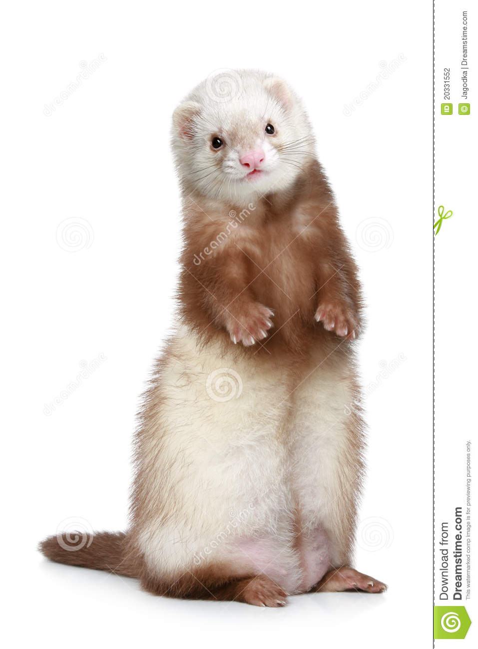 Brown Ferret Standing On A White Background Stock