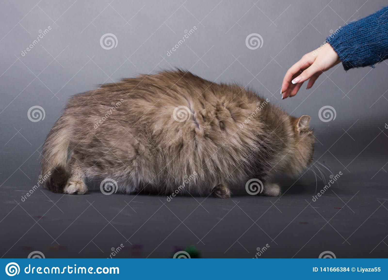 Brown fluffy cat, woman hand