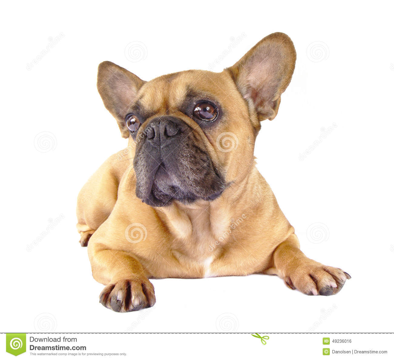Brown French Bulldog Stock Photo - Image: 49236016