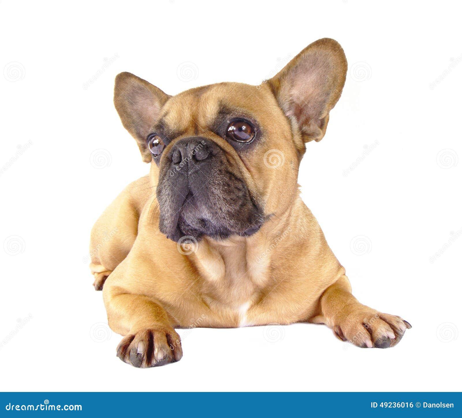Z Gallerie Bulldog French Bulldog Brown