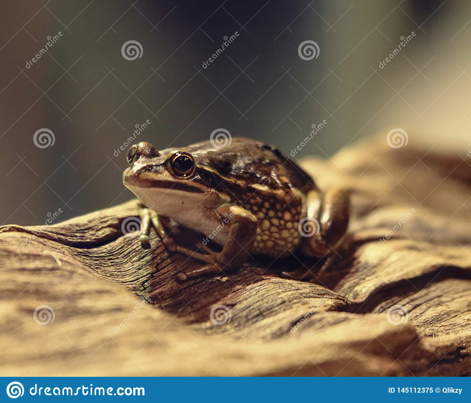 Brown frog climbing on a tree bark looking something
