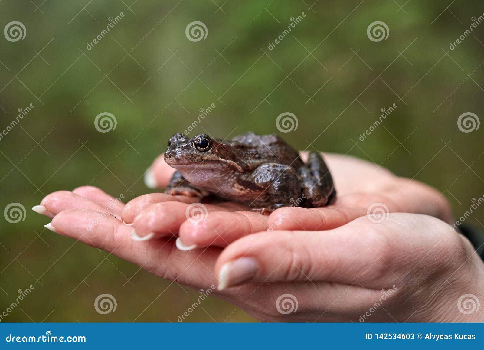 Brown frog in woman`s hands