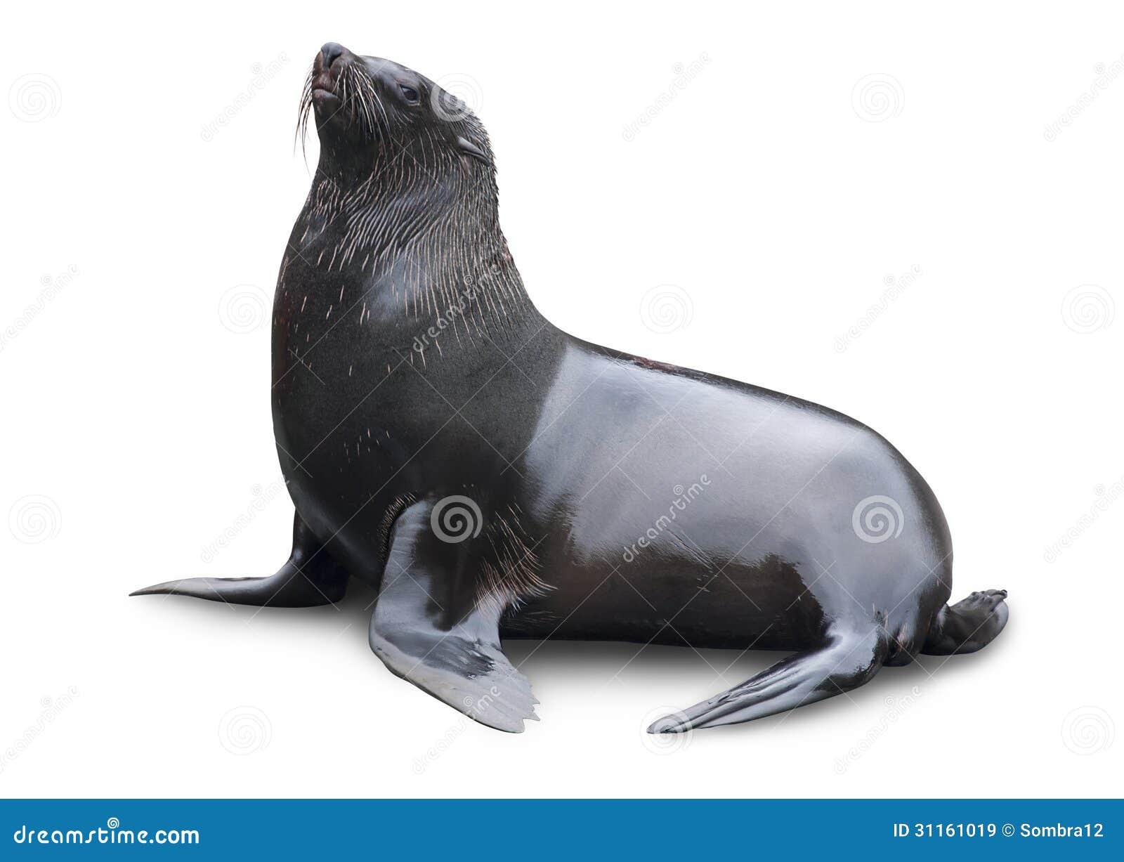 Brown futerkowa foka