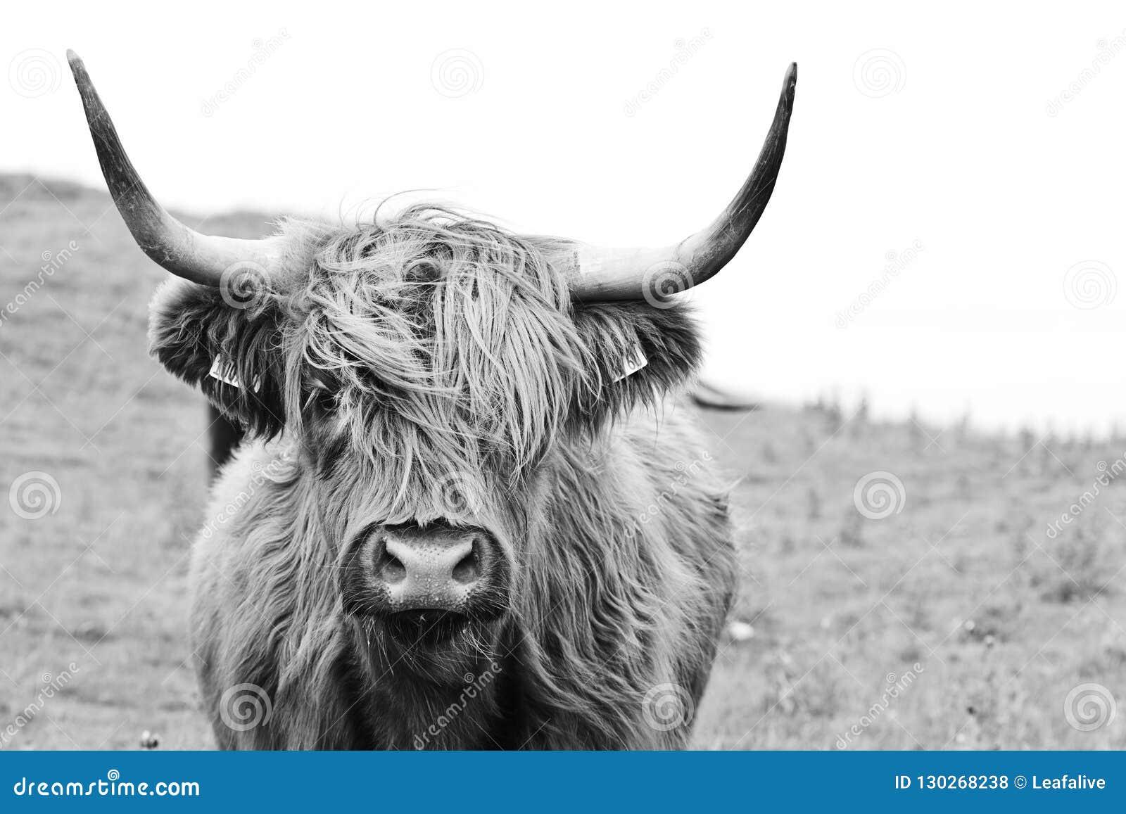 Brown górska krowa w czarny i biały