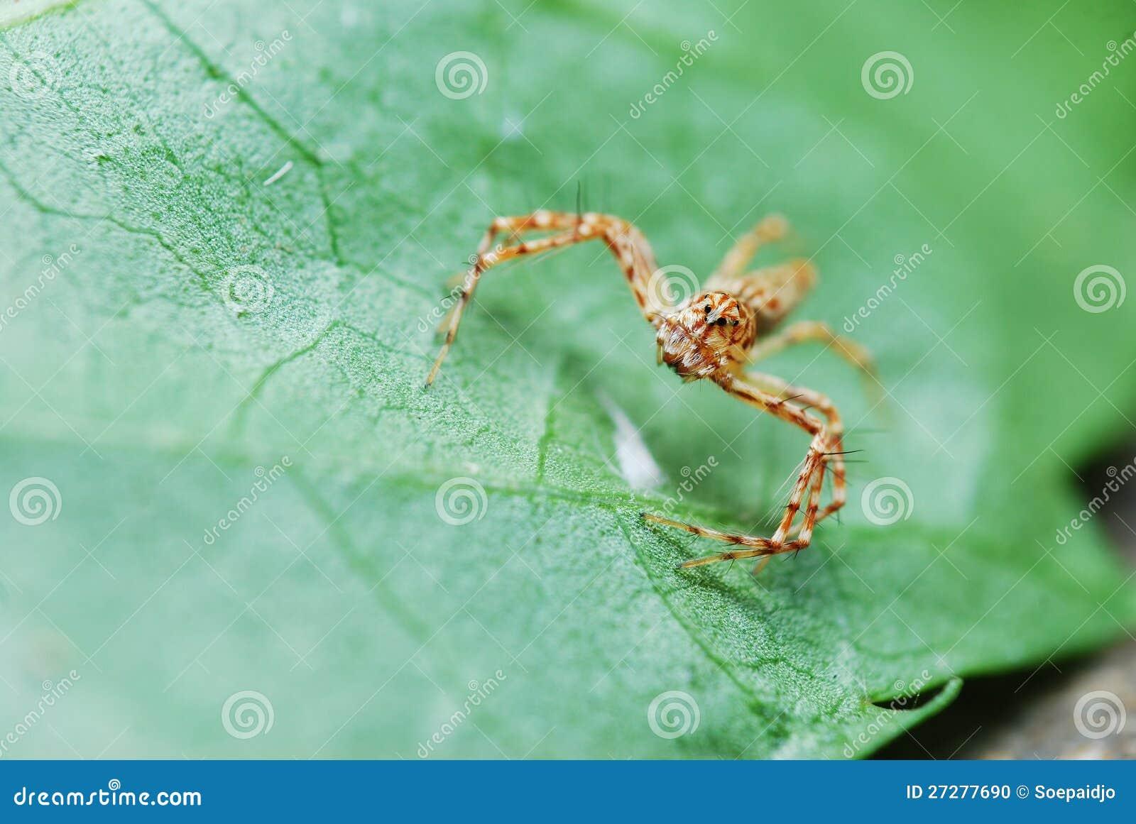 Brown görade randig spindeln