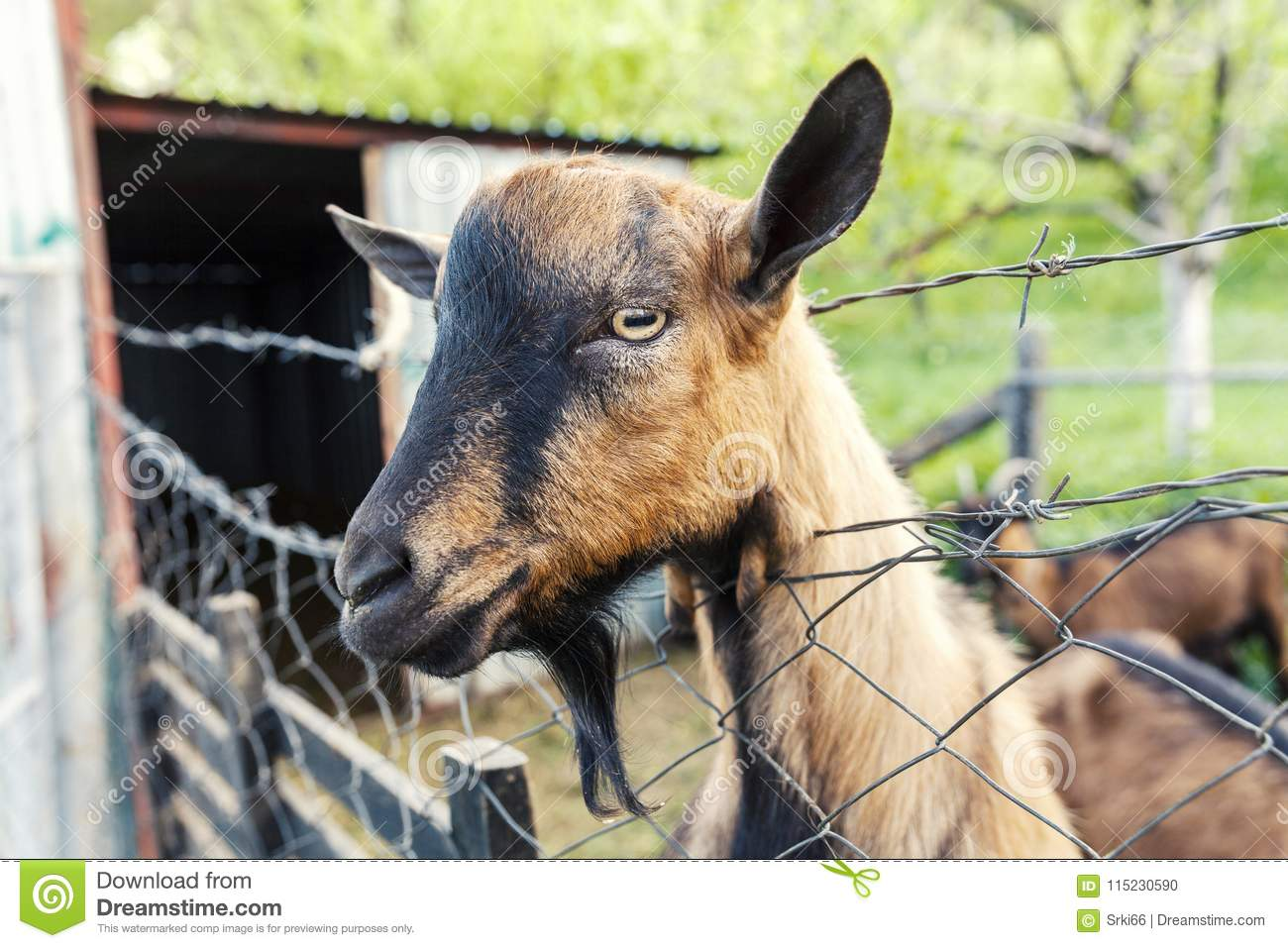 Brown goat on fence stock photo  Image of funny, rural - 115230590