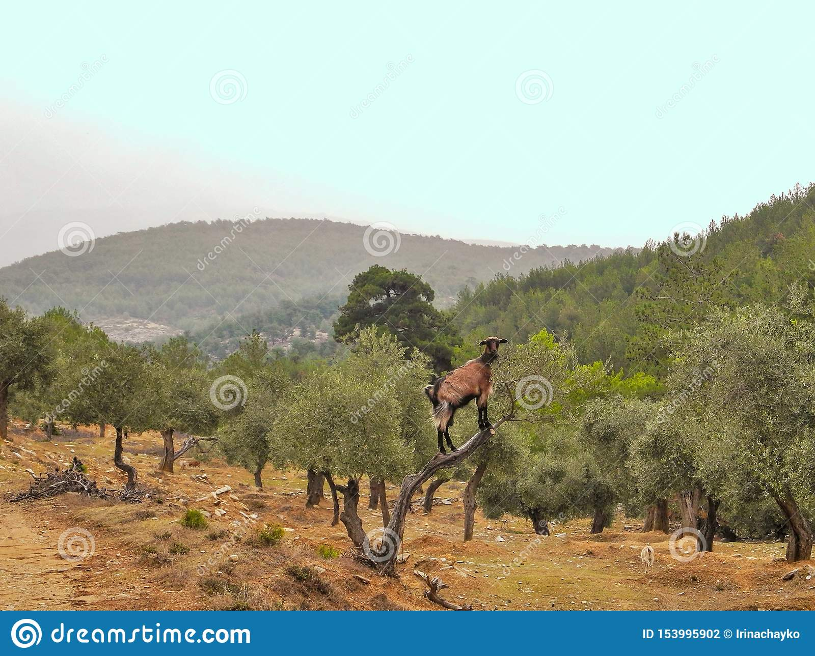 Brown goat on wild olive tree eat leaves. Olive grove in Thassos mountains.
