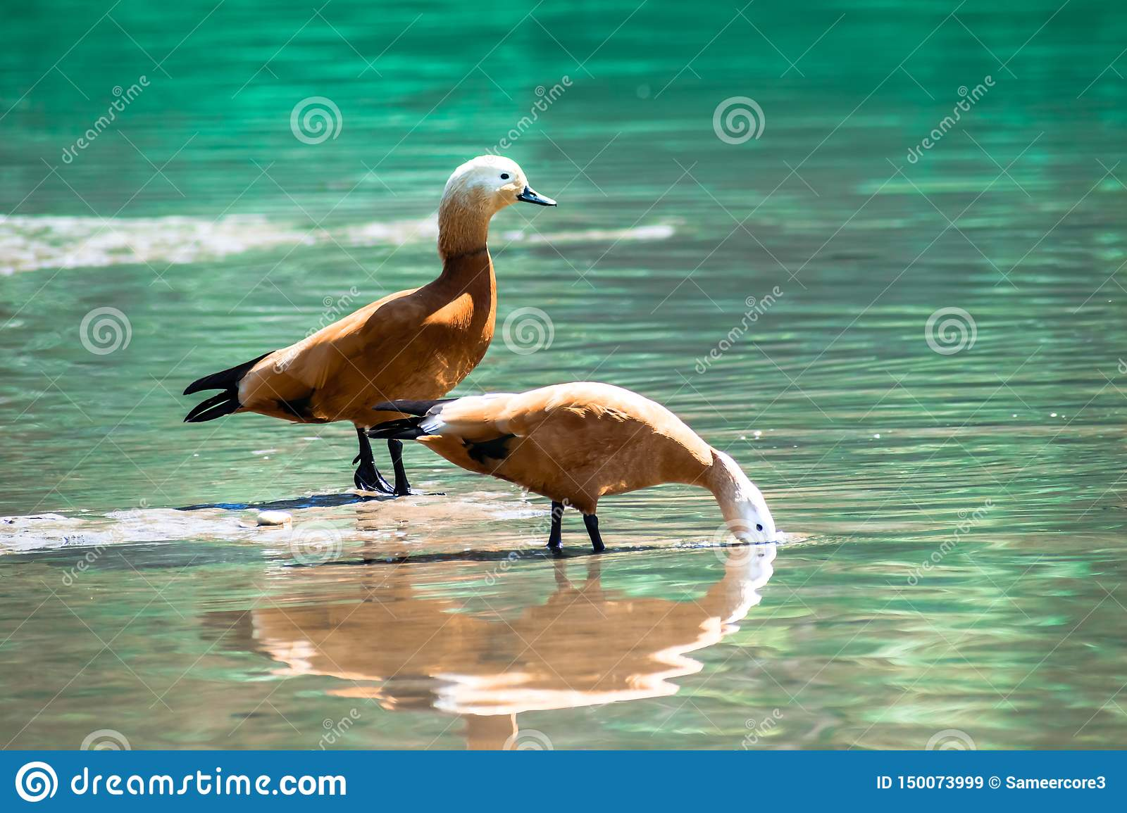 Brown golden duck couple foraging blue water