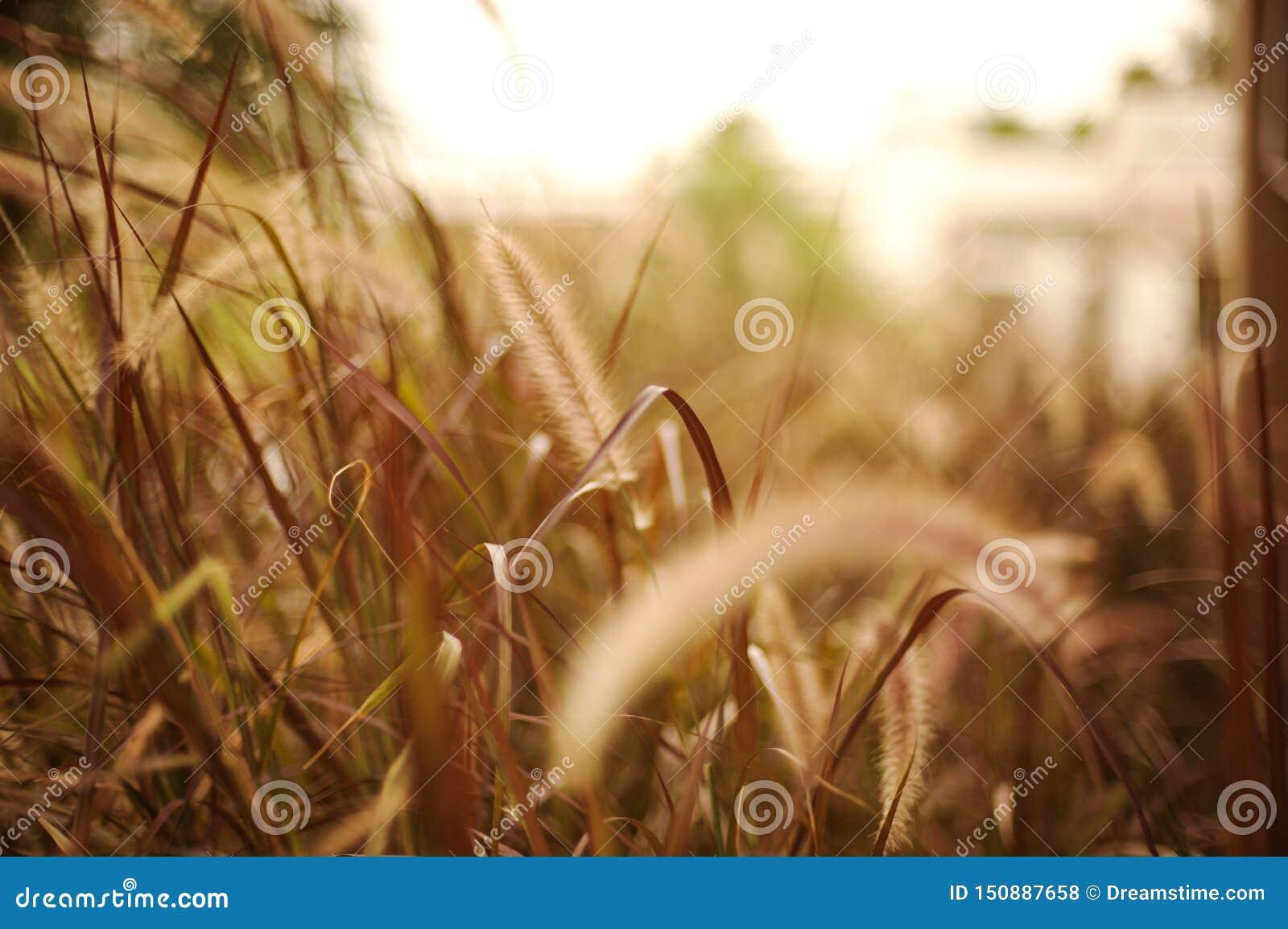Brown-Gräser mit Unschärfehintergrund im Sonnenlicht
