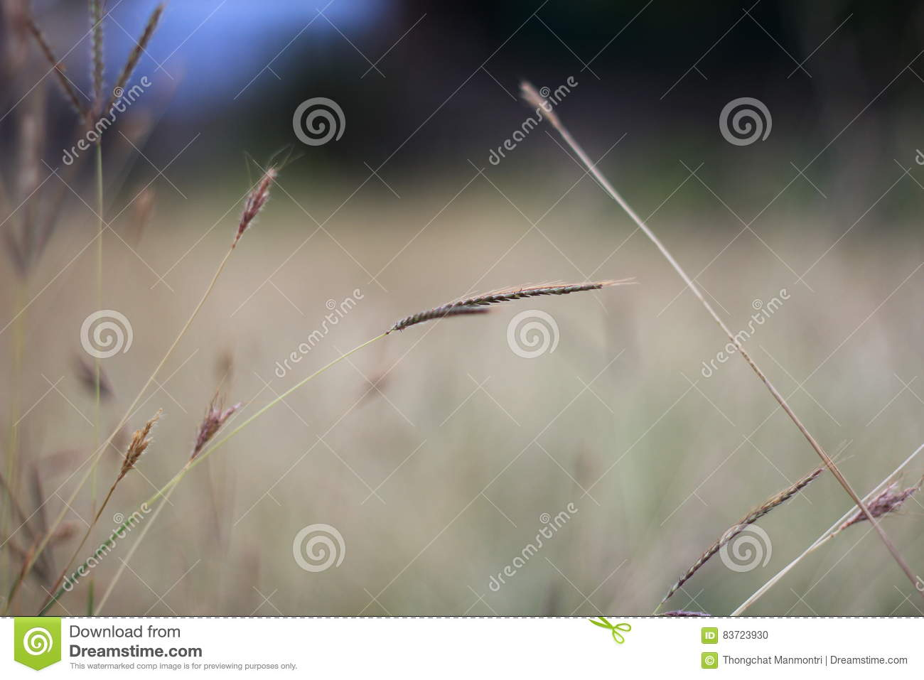 Brown Grass Flower In Dry Field Background Stock Photo