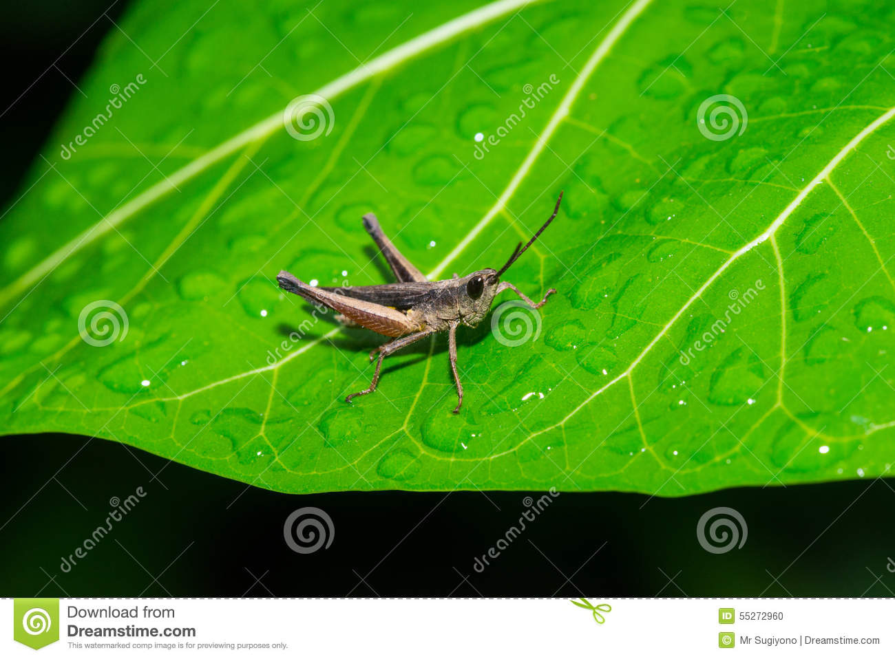 Brown Grasshopper On The Green Leaf With Water Drops Stock Photo ...