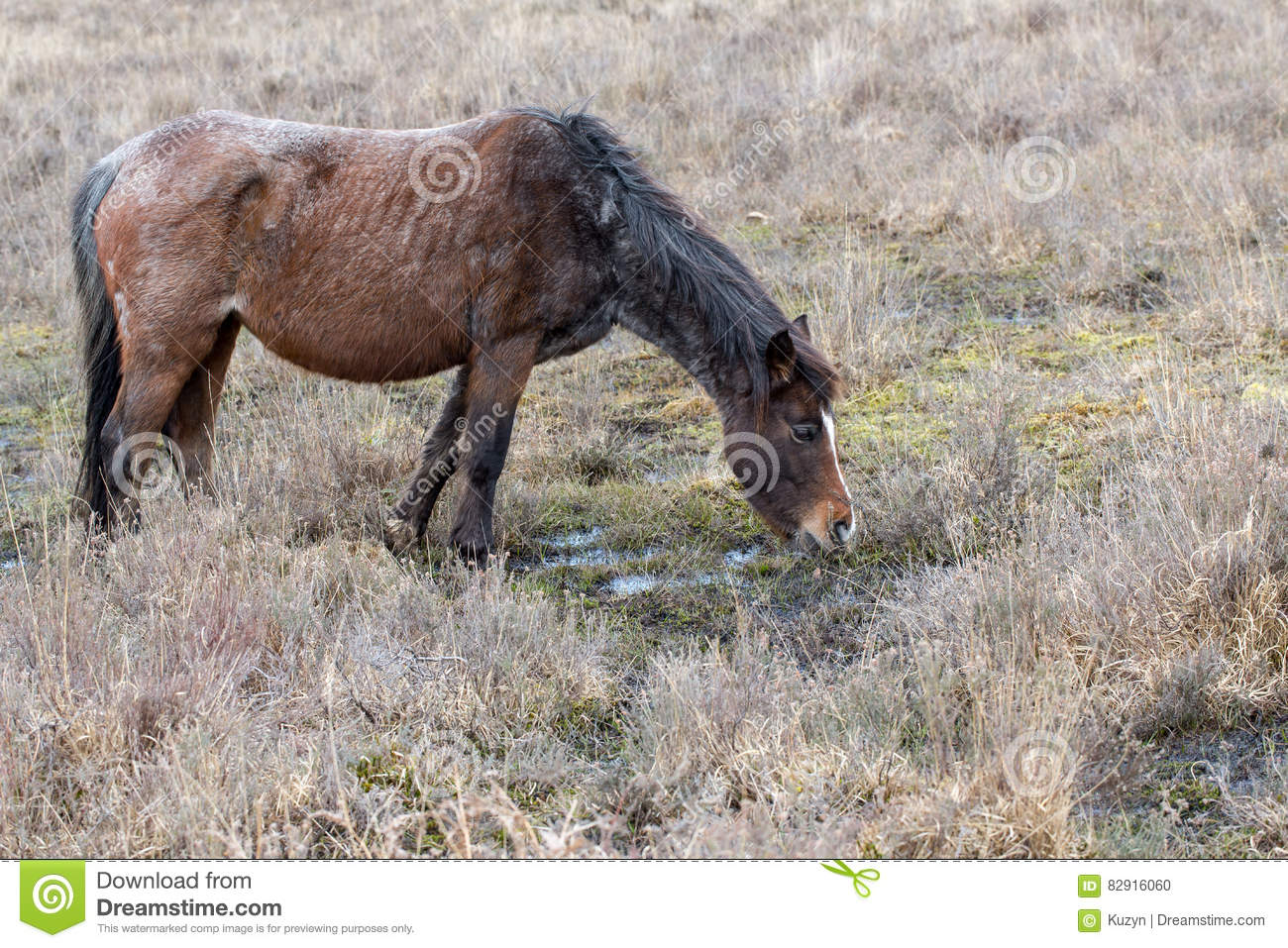 Brown grey old rove poor wild horse eats dry grass in reserve Pa