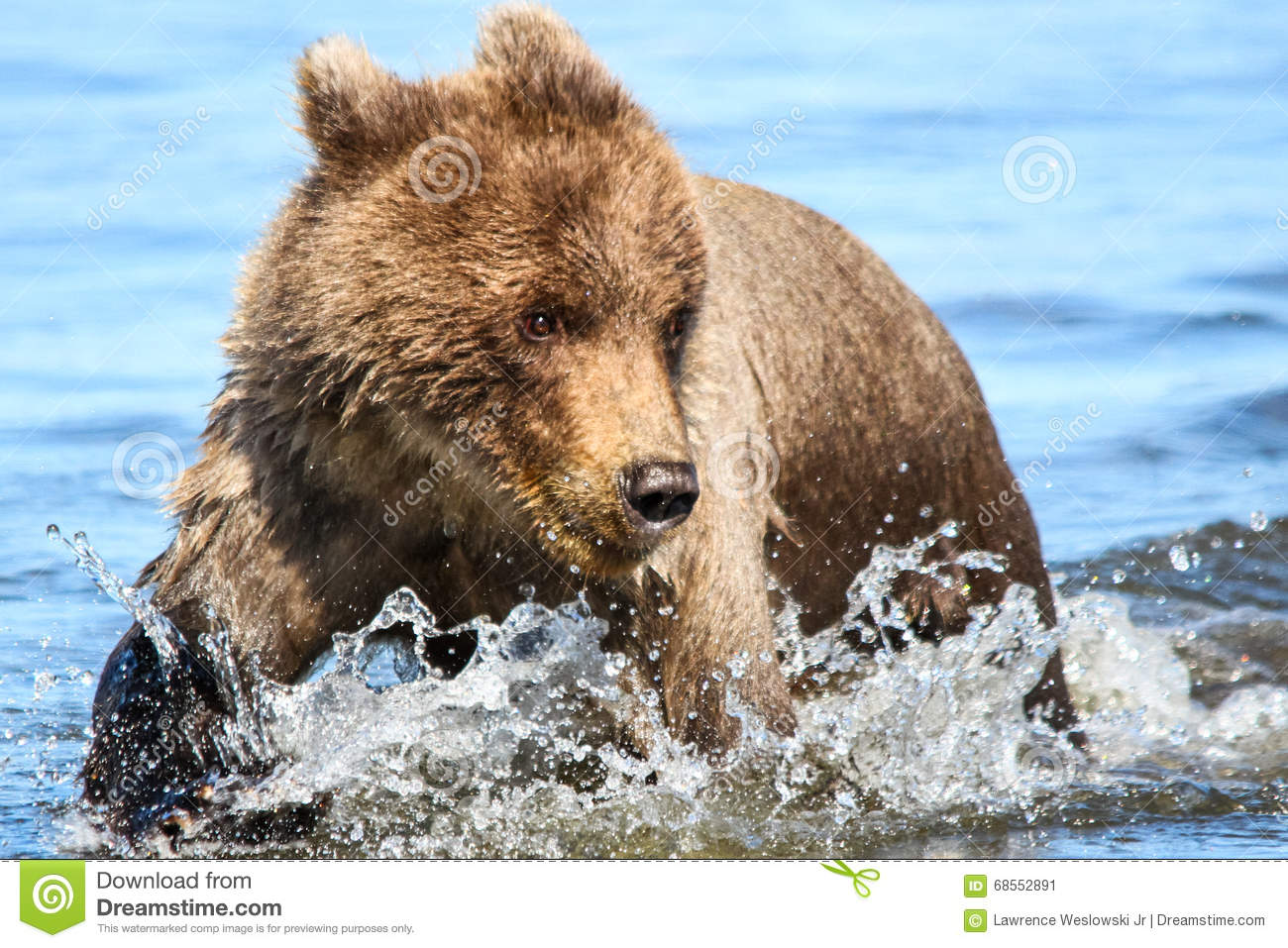 Brown Grizzly Bear Cub Running In Creek Water Stock Photo ... Grizzly Bear 100 Meter Dash