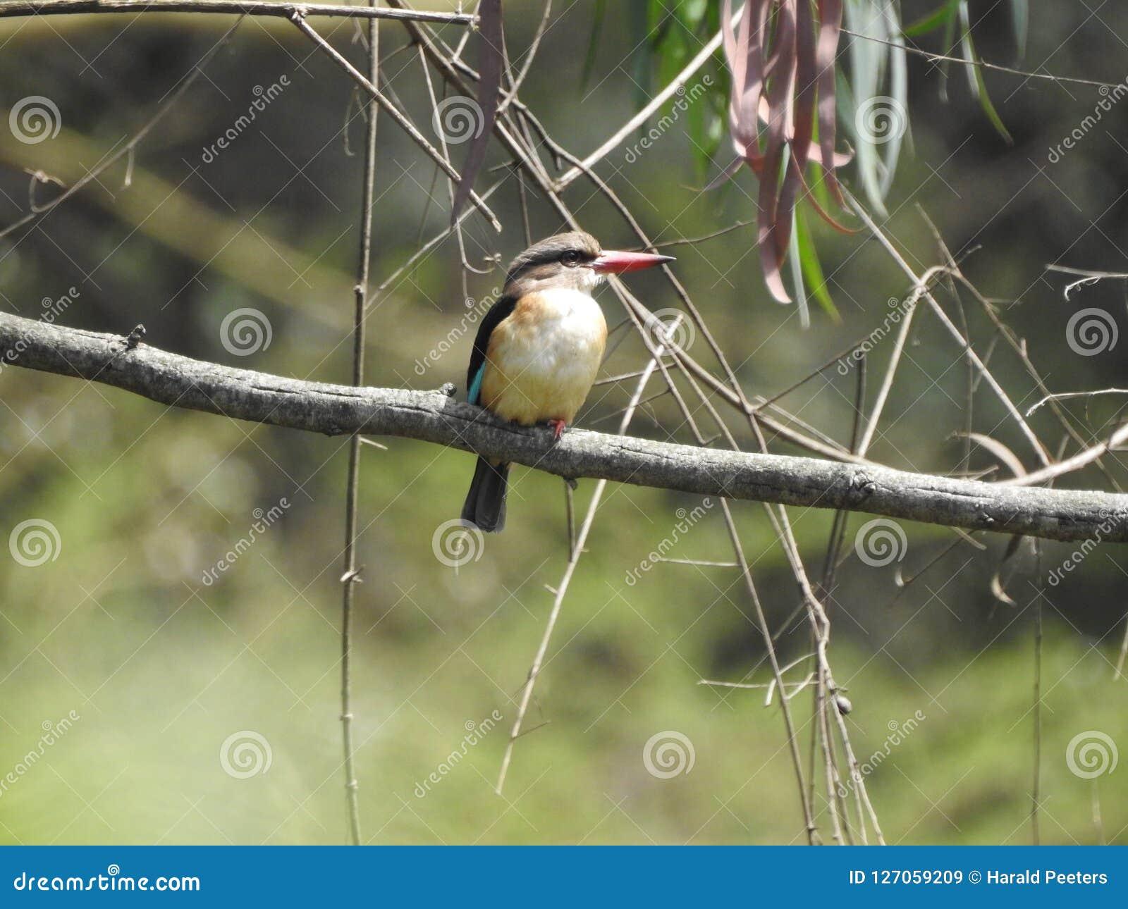 Brown-hooded Kingfisher, Arusha, Tanzania