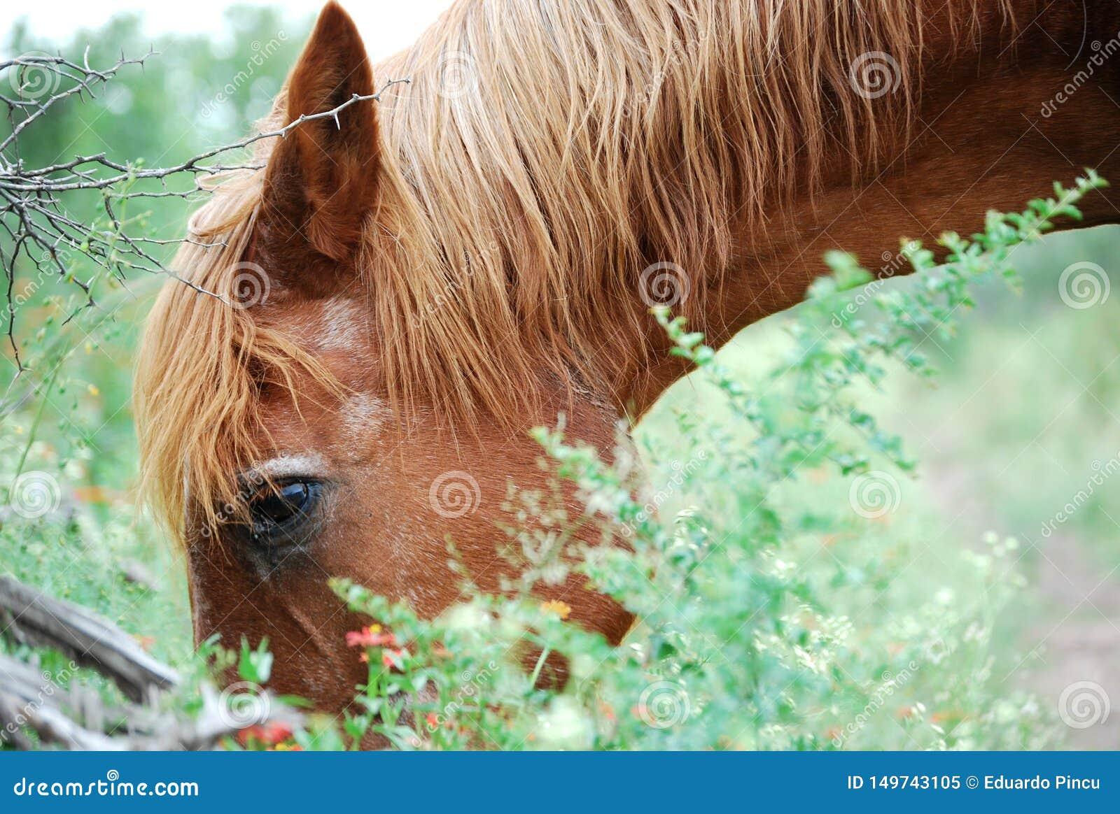 Brown horse eating in field