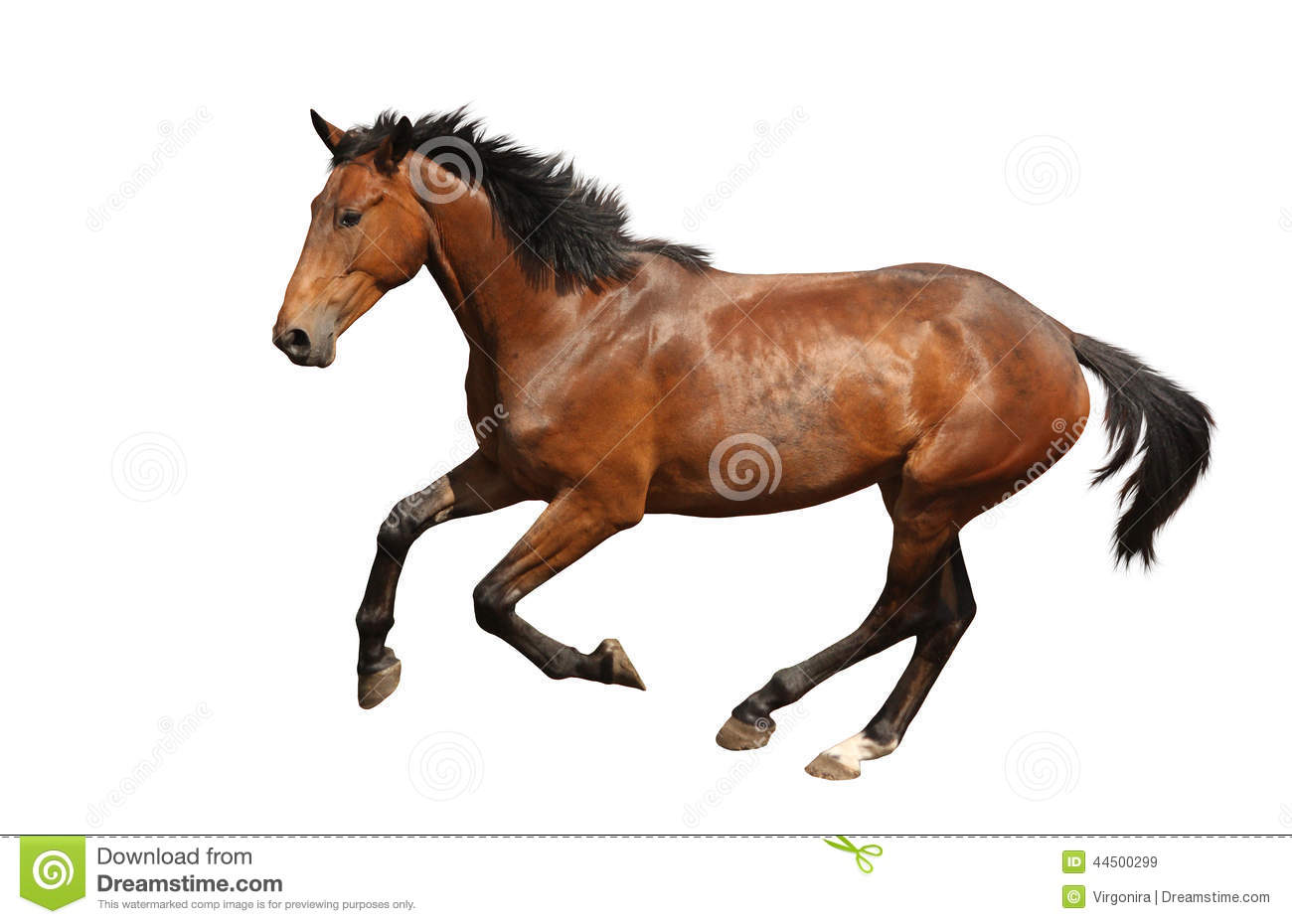 brown horse galloping fast isolated on white stock photo - image