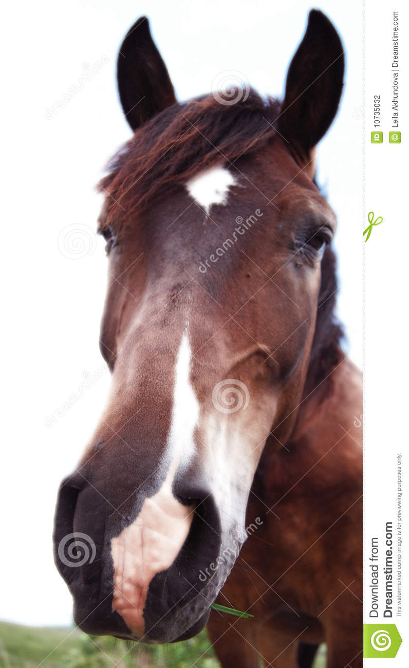 Brown Horse Isolated On White Background Stock Photography ...