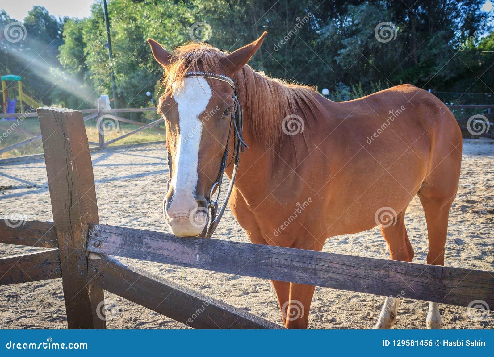pas cher meilleur choix france pas cher vente Brown horse in the manege stock photo. Image of activity ...