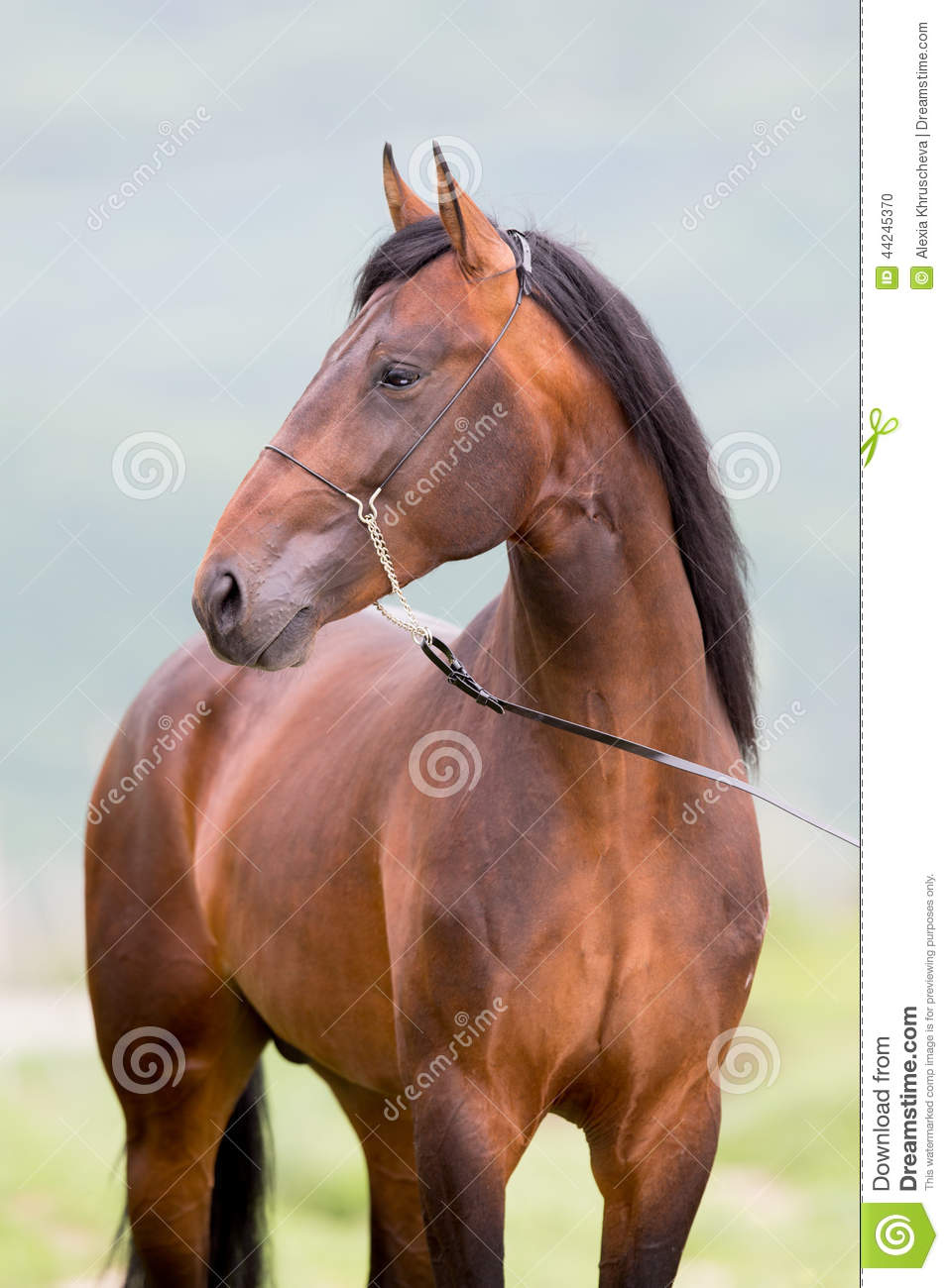 Brown Horse Standing