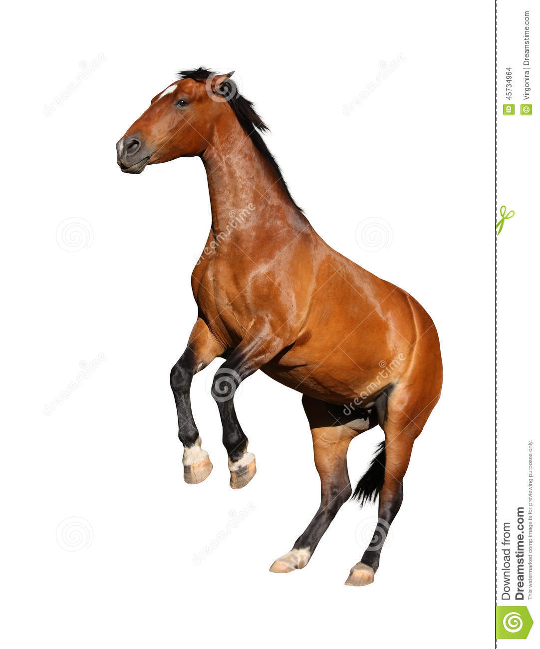 Brown Horse Rearing Up Isolated On White Stock Photo ...