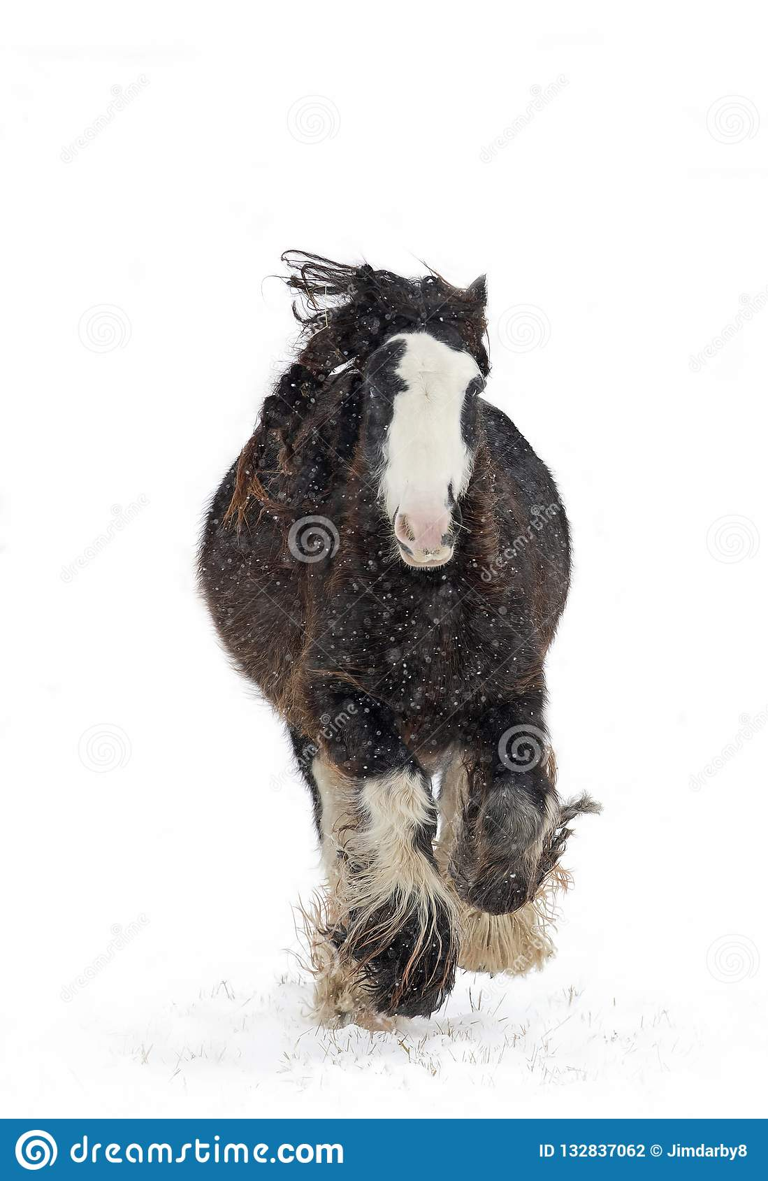 A Clydesdale Horse Running In The Falling Snow In Winter In Canada Stock Photo Image Of Wild Mammal 132837062