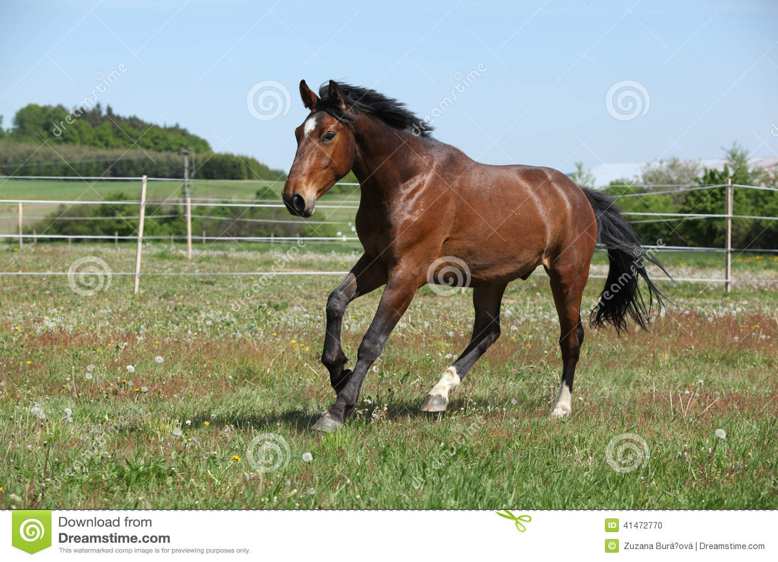 Brown horse running on flowered pasturage