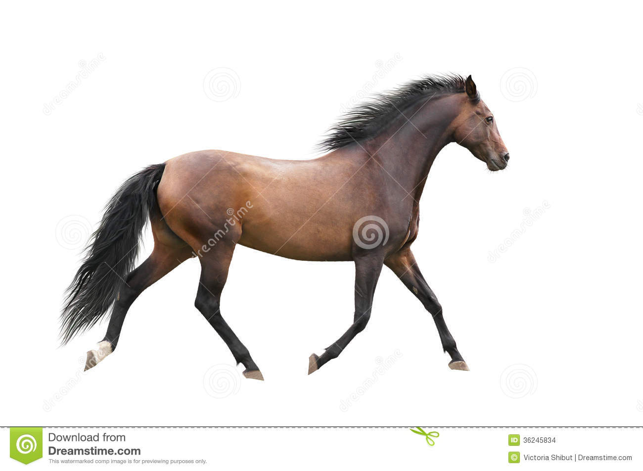 Brown Horse Trotting On White Background Stock Images ...