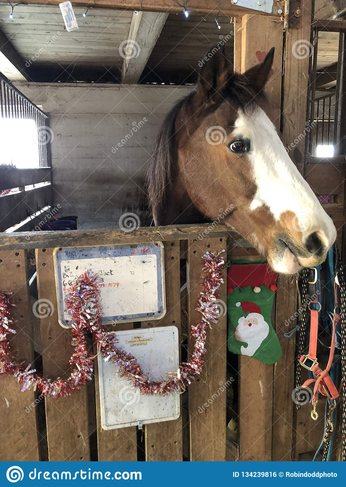 Brown Horse With A White Blaze In Stall Stock Photo Image Of Stall Christmas 134239816