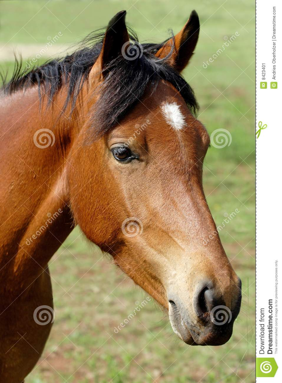 Brown horse with white spot
