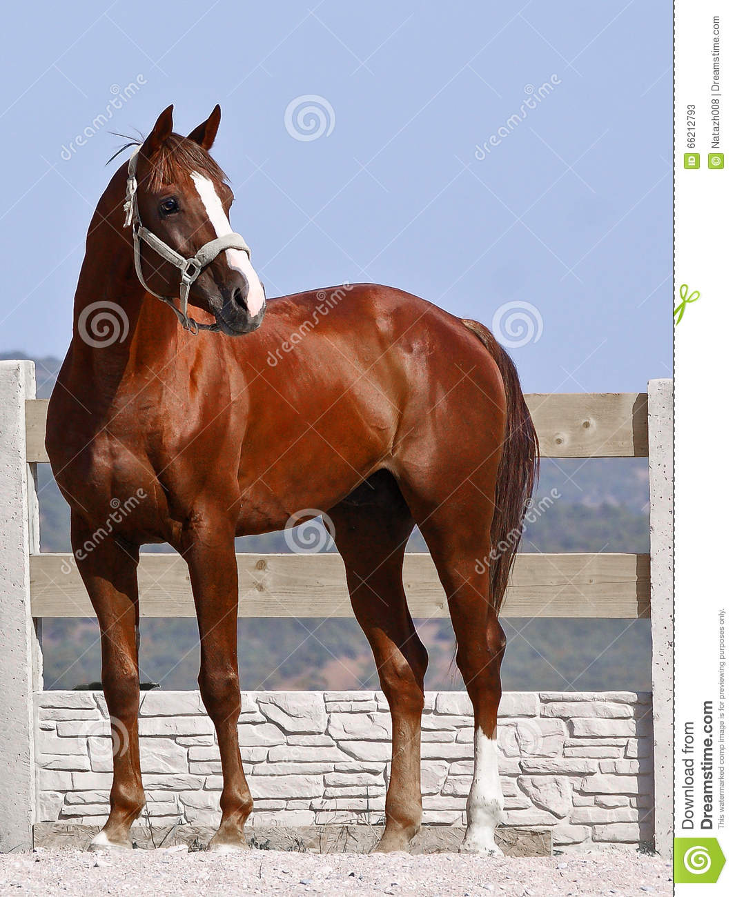 Brown Horse With A White Spot Stock Photo - Image: 66212793