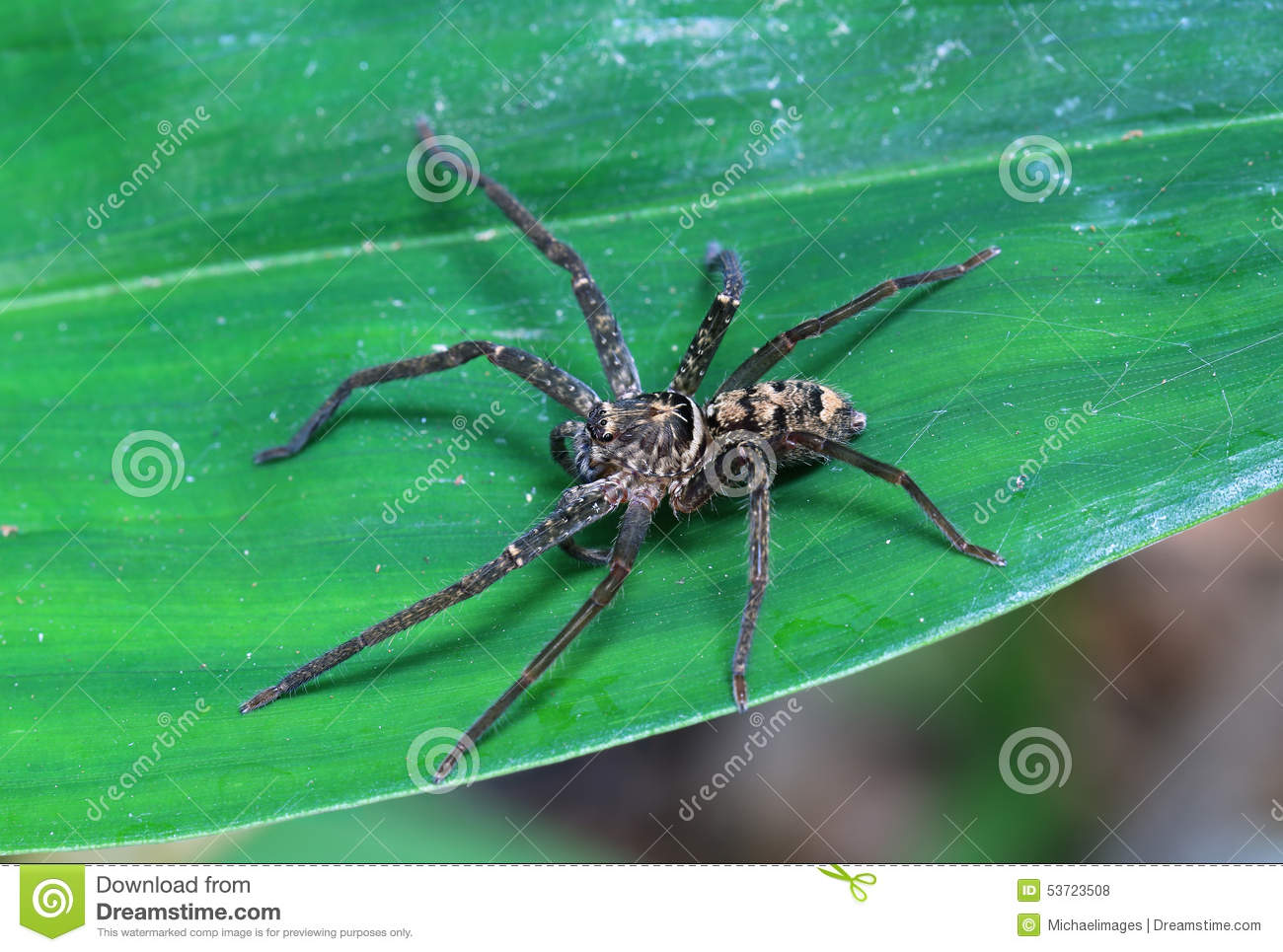 Brown Huntsman Spider stock photo  Image of botanic