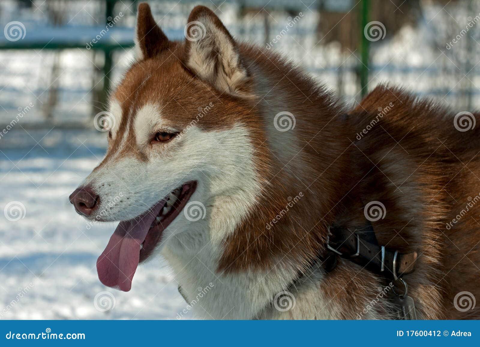 Brown Husky Stock Photography Image 17600412