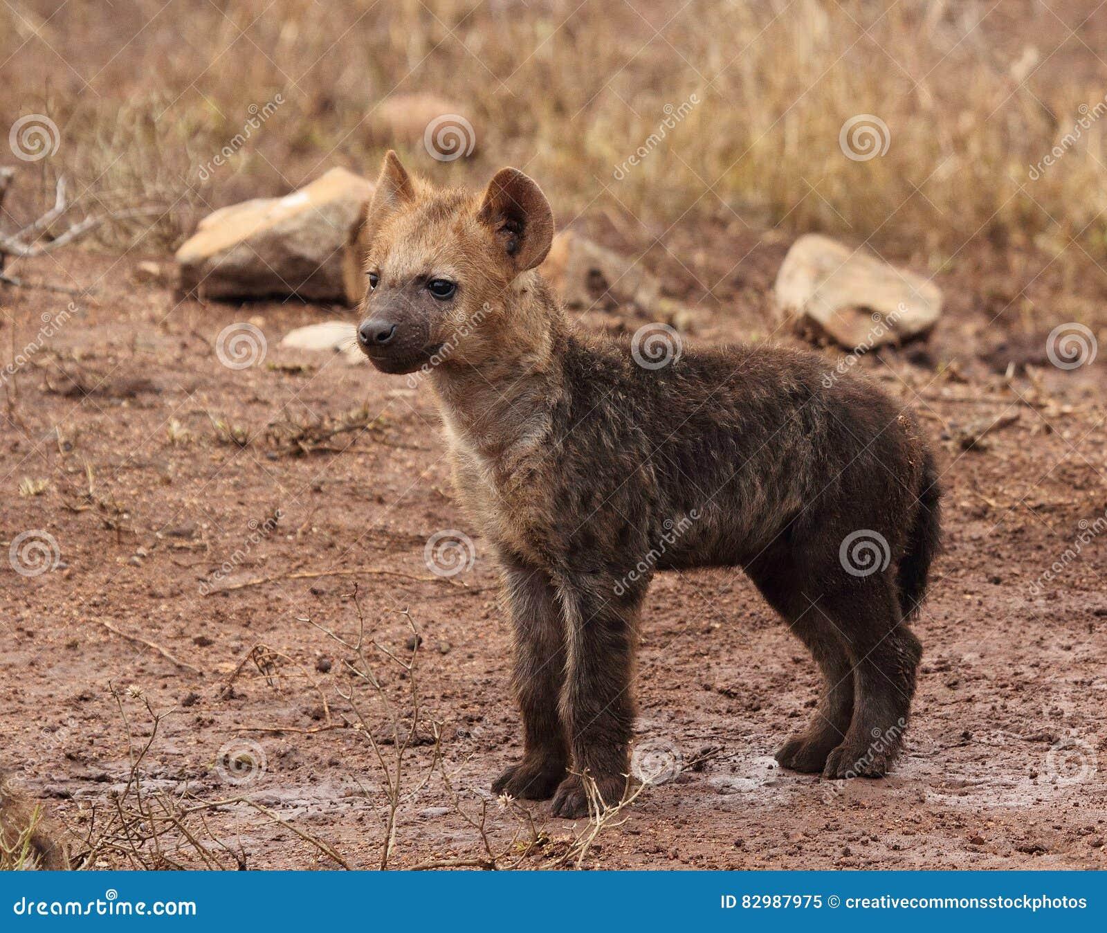 Download Brown Hyena Cub stock image. Image of hyaena, wildlife - 82987975