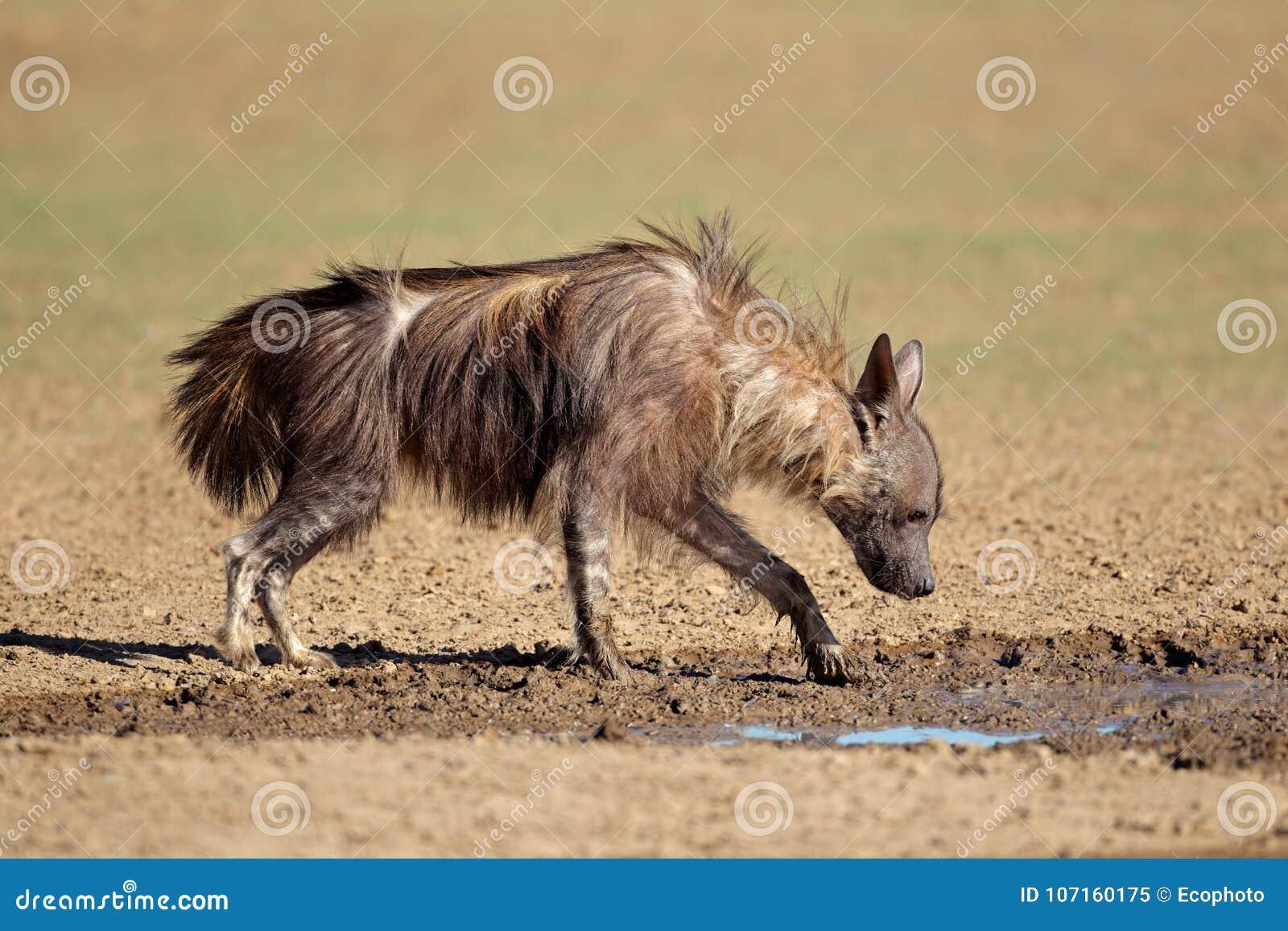 Brown hyena drinking water