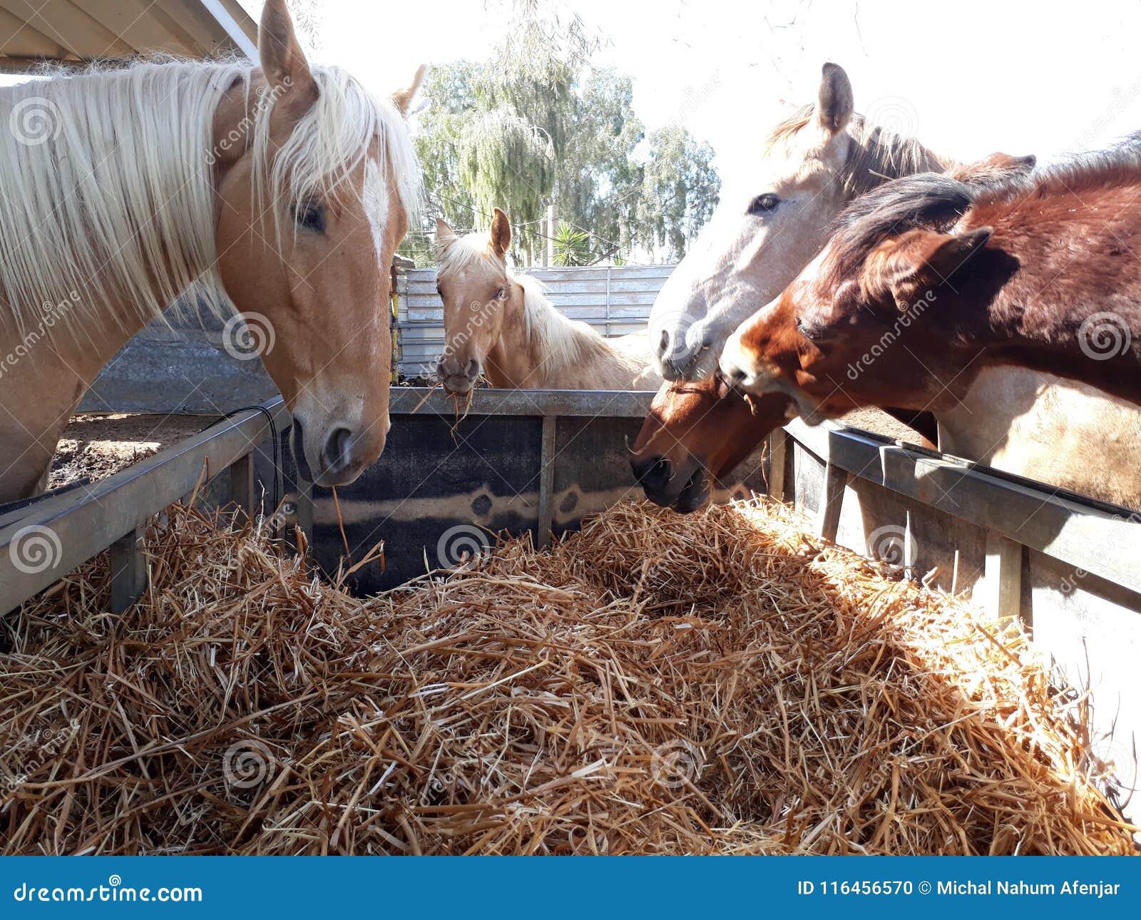 Brown i biali konie w stajence