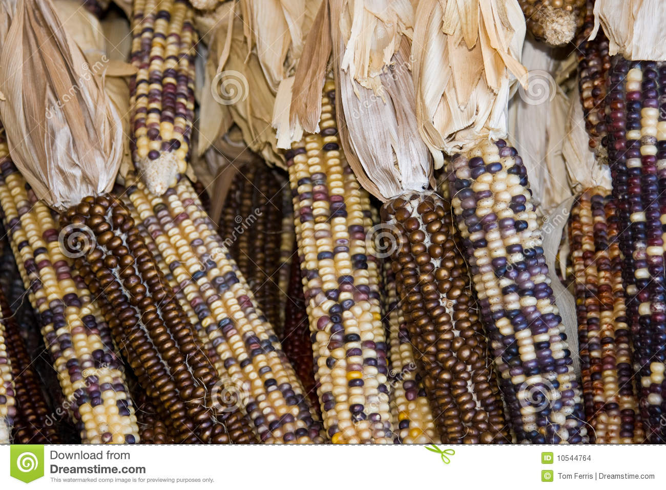 Brown indian corn stock images image 10544764