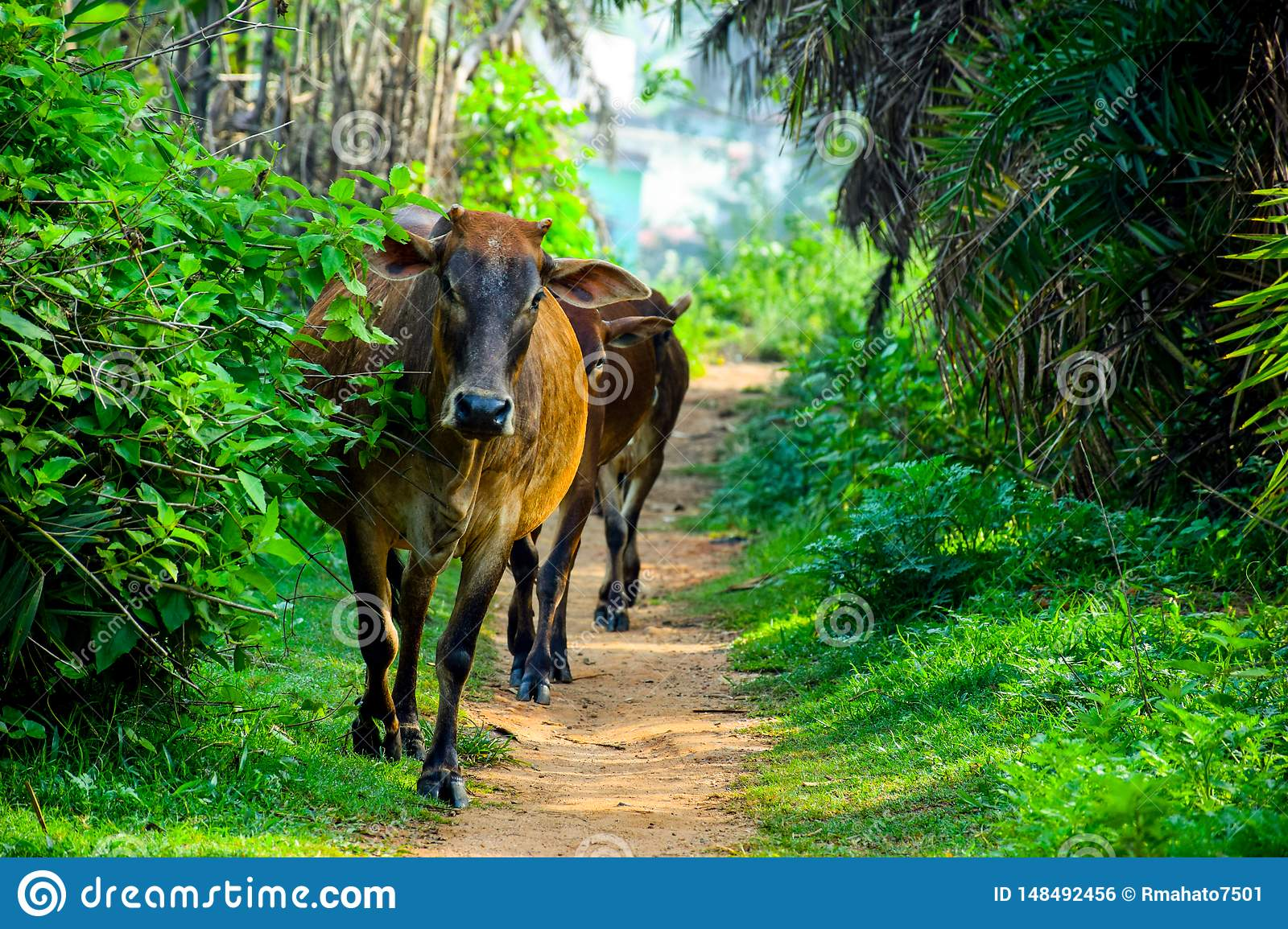 Brown indian cows came frome jungle way