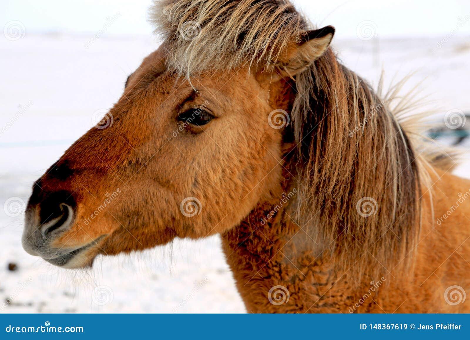 Brown Islandzki koń w zimie
