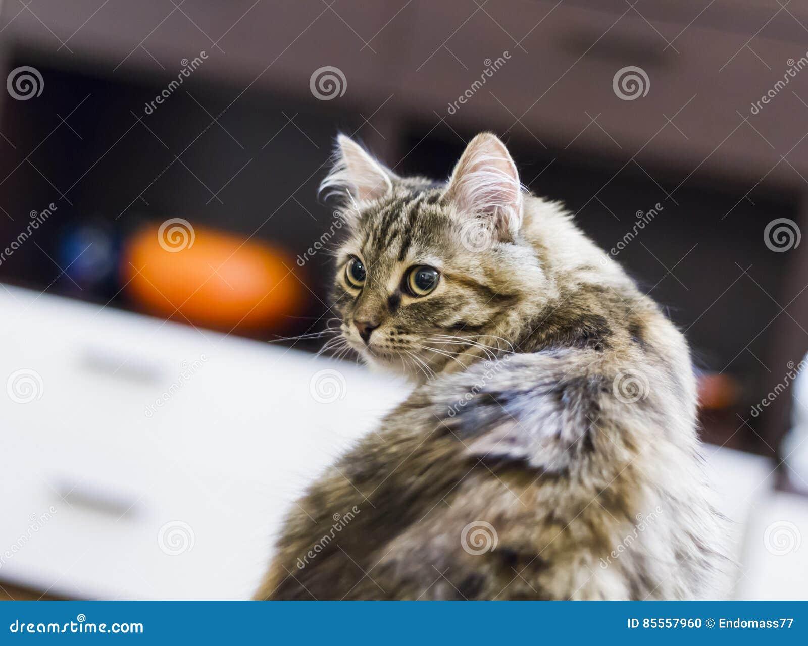 Brown-Kätzchen der sibirischen Zucht im Haus