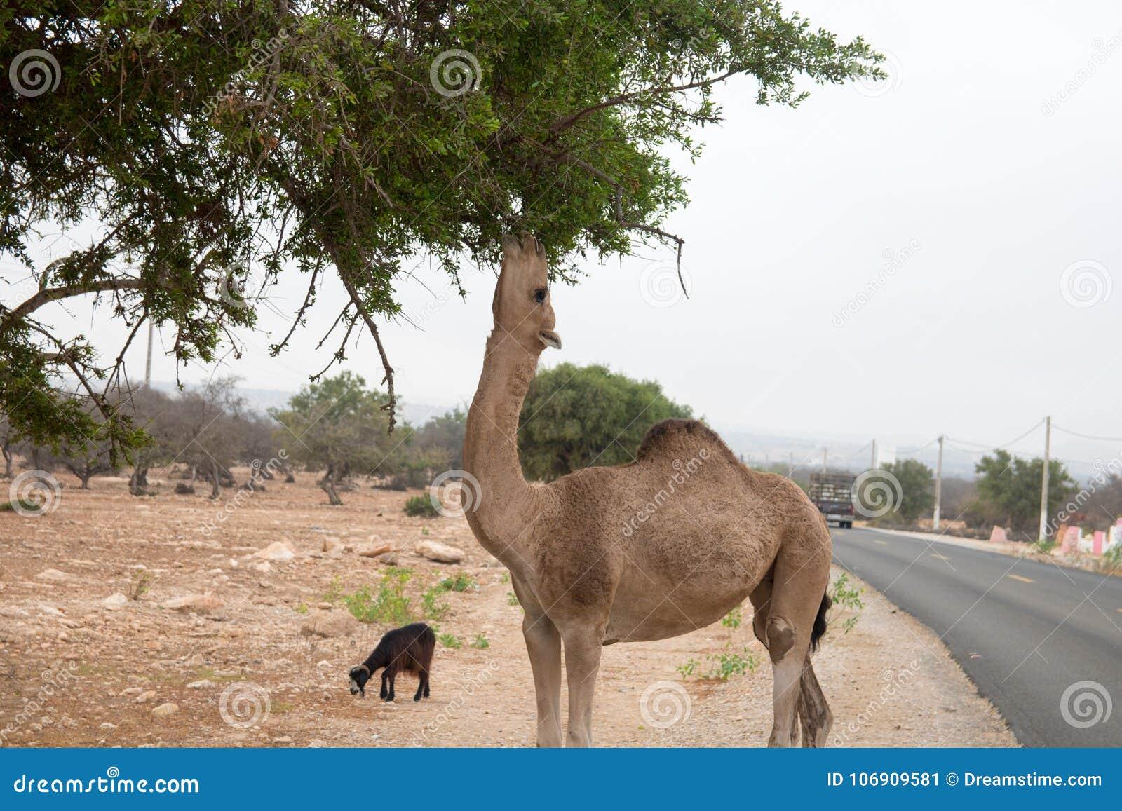 Brown kózki wspina się w argan drzewach jeść Maroko Essaouira