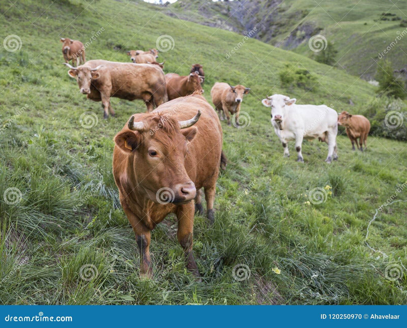 Brown-Kühe in der Bergwiese nahe vars in den Alpen von Haute Provence