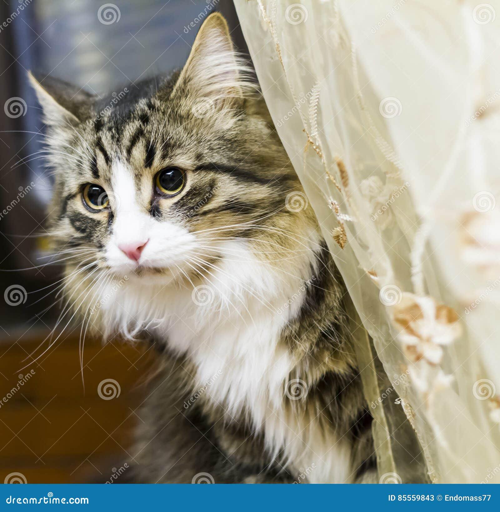 Brown-Katze der sibirischen Zucht im Haus